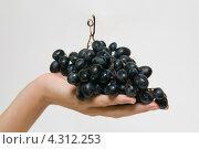 Гроздь винограда в руке. Стоковое фото, фотограф Артем Свистун / Фотобанк Лори