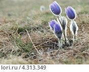 Сон-трава. Стоковое фото, фотограф Елена Есаян / Фотобанк Лори