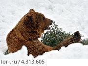 Купить «Бурый медведь зимой на природе», фото № 4313605, снято 8 февраля 2013 г. (c) Эдуард Кислинский / Фотобанк Лори