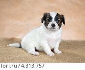 Купить «Портрет маленького щенка папийона», фото № 4313757, снято 21 февраля 2013 г. (c) Сергей Лаврентьев / Фотобанк Лори