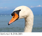 Купить «Портрет лебедя крупным планом», фото № 4314381, снято 21 марта 2019 г. (c) Алексей Кокоулин / Фотобанк Лори