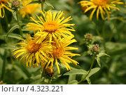 Купить «Яркие желтые цветы девясила британского (Inula britannica L.).», эксклюзивное фото № 4323221, снято 7 июля 2012 г. (c) Щеголева Ольга / Фотобанк Лори