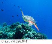 Купить «Морская зеленая суповая черепаха плывет среди кораллов», фото № 4326041, снято 8 мая 2012 г. (c) Сергей Дубров / Фотобанк Лори