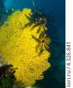 Купить «Черные морские лилии сидят на ярком желтом веерном коралле», фото № 4326841, снято 7 мая 2012 г. (c) Сергей Дубров / Фотобанк Лори