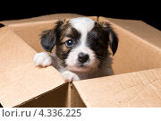 Купить «Щенок породы Папильон в картонной коробке», фото № 4336225, снято 27 февраля 2013 г. (c) Сергей Лаврентьев / Фотобанк Лори