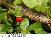 Купить «Ягода лесной земляники», фото № 4342913, снято 6 сентября 2004 г. (c) Gagara / Фотобанк Лори