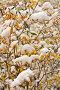 Осень. Снег на ветках багульника. Природный фон, фото № 4343029, снято 26 сентября 2010 г. (c) Виктория Катьянова / Фотобанк Лори