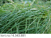 Зеленая трава с каплями росы крупным планом. Стоковое фото, фотограф Вера Зонова / Фотобанк Лори