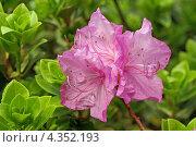 Нежные лиловые цветы багульника даурского ( rhododendron dauricum ) на фоне зеленой листвы. Стоковое фото, фотограф Ольга Липунова / Фотобанк Лори