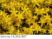 Купить «Текстура - желтые цветы», фото № 4353497, снято 14 июля 2011 г. (c) Виктор Пелих / Фотобанк Лори