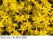 Купить «Текстура - желтые цветы», фото № 4353505, снято 14 июля 2011 г. (c) Виктор Пелих / Фотобанк Лори