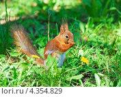 Купить «Белка грызет орешек», фото № 4354829, снято 17 мая 2012 г. (c) Алёшина Оксана / Фотобанк Лори