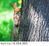 Купить «Белка на дереве», фото № 4354965, снято 17 мая 2012 г. (c) Алёшина Оксана / Фотобанк Лори