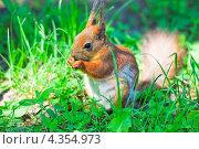 Купить «Белка грызет орешек», фото № 4354973, снято 17 мая 2012 г. (c) Алёшина Оксана / Фотобанк Лори