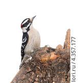 Купить «Пушистый дятел  (Picoides pubescens) - самый маленький дятел в Северной Америке», фото № 4357177, снято 1 марта 2013 г. (c) Ирина Кожемякина / Фотобанк Лори