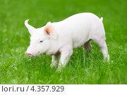 Купить «Поросенок на траве», фото № 4357929, снято 30 августа 2012 г. (c) Дмитрий Калиновский / Фотобанк Лори