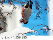 Снегирь клюет калину, вися на ветке. Стоковое фото, фотограф Анастасия Новикова / Фотобанк Лори