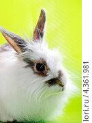Кролик на зеленом фоне. Стоковое фото, фотограф CHERKAUSKAS VIKTOR / Фотобанк Лори