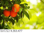 Купить «Апельсиновое дерево», фото № 4363477, снято 14 апреля 2011 г. (c) Andrejs Pidjass / Фотобанк Лори