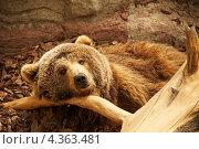 Купить «Бурый медведь лежит возле коряги», фото № 4363481, снято 14 апреля 2011 г. (c) Andrejs Pidjass / Фотобанк Лори