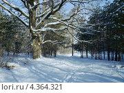 Купить «Дуб с раскидистыми заснеженными ветвями в зимнем лесу», фото № 4364321, снято 18 августа 2019 г. (c) Михаил Марковский / Фотобанк Лори