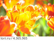 Тюльпаны. Стоковое фото, фотограф Александр Довгун / Фотобанк Лори