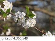 Вишня цветет. Стоковое фото, фотограф Мария Семечкова / Фотобанк Лори