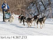 Купить «Гонка на собачьих упряжках. Полуостров Камчатка», фото № 4367213, снято 2 марта 2013 г. (c) А. А. Пирагис / Фотобанк Лори