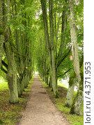 Дорожка через аллею с зелеными деревьями. Стоковое фото, фотограф Andrejs Pidjass / Фотобанк Лори