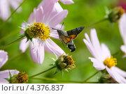 Бабочка - бражник собирает пыльцу с цветка. Стоковое фото, фотограф Иванов Алексей / Фотобанк Лори