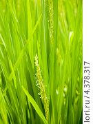 Купить «Цветущий рис», фото № 4378317, снято 11 ноября 2012 г. (c) Katerina Anpilogova / Фотобанк Лори