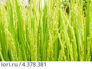 Купить «Цветущий рис», фото № 4378381, снято 11 ноября 2012 г. (c) Katerina Anpilogova / Фотобанк Лори