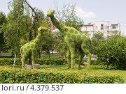 Купить «Красноярск. Фигуры вертикального озеленения Жирафы», эксклюзивное фото № 4379537, снято 13 июля 2012 г. (c) Шичкина Антонина / Фотобанк Лори