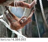 Купить «Детеныш орангутана развлекается», фото № 4384093, снято 8 марта 2013 г. (c) Наталья Волкова / Фотобанк Лори