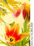 Купить «Букет из красных тюльпанов и мимозы», фото № 4386069, снято 9 марта 2013 г. (c) Игорь Соколов / Фотобанк Лори