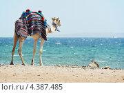 Купить «Верблюд на пляже Красного моря», фото № 4387485, снято 5 августа 2011 г. (c) Дмитрий Калиновский / Фотобанк Лори