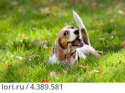 Собака породы бигль грызет палку. Стоковое фото, фотограф Елена Ефимова / Фотобанк Лори