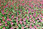 Розовые тюльпаны, фото № 4393121, снято 27 марта 2017 г. (c) Михаил / Фотобанк Лори