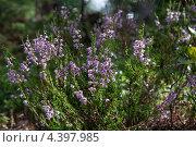 Вереск, цветы. Стоковое фото, фотограф Jumbo / Фотобанк Лори