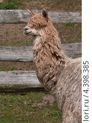 Нестриженная светлая лама в полуоборот. Стоковое фото, фотограф Яна Шпакова / Фотобанк Лори