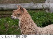 Светлая нестриженная лама в профиль. Стоковое фото, фотограф Яна Шпакова / Фотобанк Лори