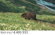 Медведица. Стоковое видео, видеограф Максим Марков / Фотобанк Лори