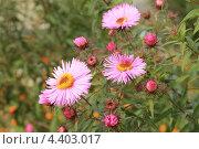 Хризантема кустовая. Стоковое фото, фотограф Александр А. Каргаполов / Фотобанк Лори