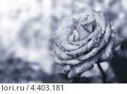 Роза с каплями воды крупным планом. Стоковое фото, фотограф Андрей Самолинов / Фотобанк Лори