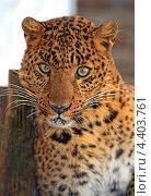 Купить «Портрет леопарда крупным планом», фото № 4403761, снято 8 января 2013 г. (c) Эдуард Кислинский / Фотобанк Лори