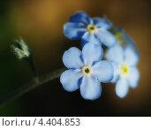 Купить «Незабудка болотная — Myosotis palustris (L.) L. (Myosotis scorpioides L.)», фото № 4404853, снято 21 мая 2010 г. (c) Александр Шуть / Фотобанк Лори