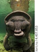 Поцелуй ламантина, Crystal River, Florida. Стоковое фото, фотограф Игорь Анатольевич / Фотобанк Лори