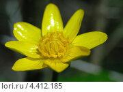 Купить «Желтый цветок на размытом фоне», фото № 4412185, снято 16 апреля 2012 г. (c) Игорь Ткачёв / Фотобанк Лори