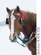 Лошадь в шорах. Стоковое фото, фотограф Наталия Журова / Фотобанк Лори