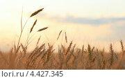 Купить «Колосья пшеницы на ветру», видеоролик № 4427345, снято 19 марта 2013 г. (c) Виктор Савушкин / Фотобанк Лори